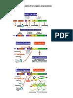 Regulación Transcripción en procariotas
