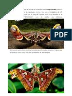 La mariposa más grande del mundo es conocida como mariposa atlas