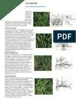 Turfgrass Species Spanish