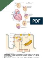 Meccanica cardiaca immagini