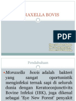 Moraxella Bovis