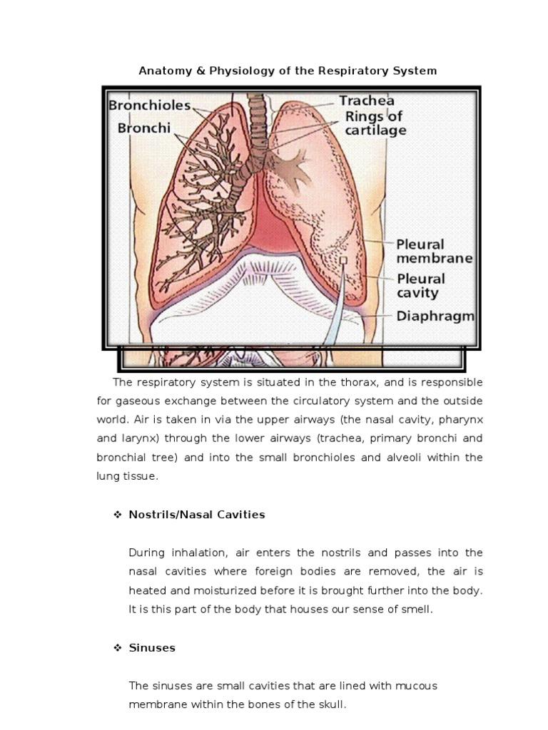 Anatomy   Respiratory Tract   Lung