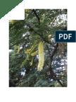Acacia Albida