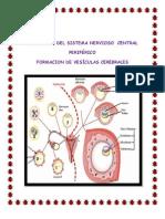 Sistema Nervioso y Vesiculas Cerebrales