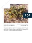 Crotalaria Saharae