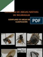 Abejas Meliponas de Nicaragua Preliminar PDF