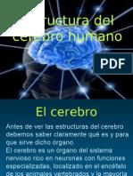 Estructura Del Cerebro Humano