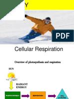 Cellular Respiration sk