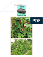 Fasole Phaseolus coccineus