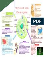 Cellule Organites