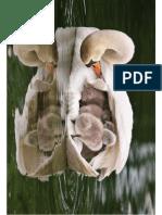 Mother Swan Wild Animals1