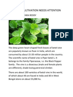 Betel Vine Cultivation Needs Attention