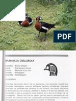 Barnacla  Cuelliroja