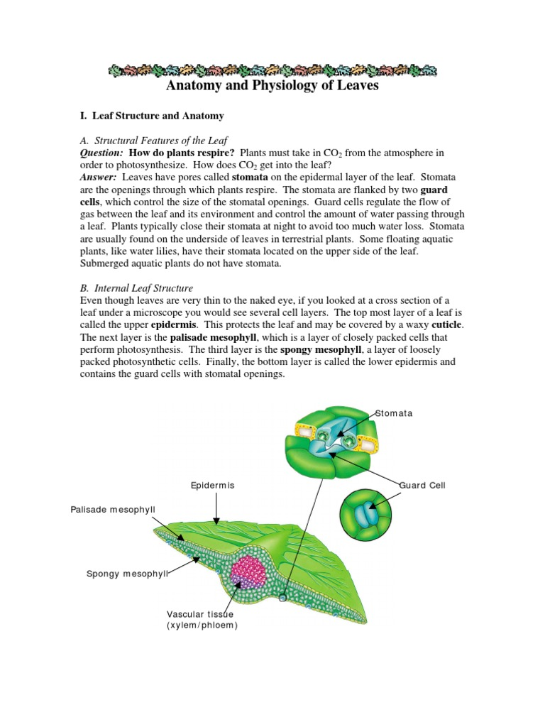 Anatomy and Physiology of Leaves | Stoma | Plants