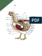 Sistema Digestivo de Un Pollo