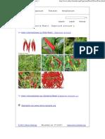 Fotos Von Der Chilisorte Rawit - Capsicum Annuum L