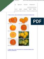 Fotos Der Tomatensorte Beauty King - Solanum Lycopersicon L