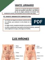 Anatomia Sistema Uro
