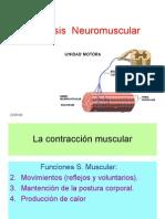 sinapsis_neuromuscular
