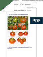 Fotos Der Tomatensorte Black Russian - Solanum Lycopersicon L