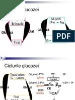 95Ciclurile Glucozei Alte Glucide