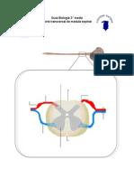 Guía médula espinal (tamaño carta).doc