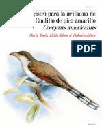 CHIRICOCA 16 Cuclillo Pico Amarillo