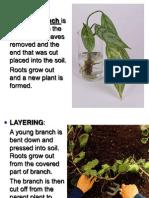 artificial vegetative reproduction