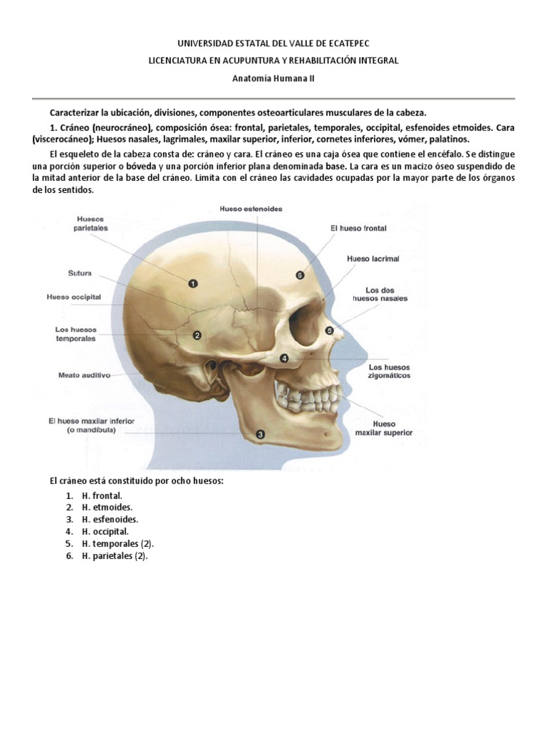 Vistoso Anatomía Hueso De La Mandíbula Festooning - Imágenes de ...