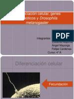 Diferenciación celular, genes homeóticos y Drosophila melanogaster
