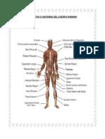 Aparatos o Sistemas Del Cuerpo Humano