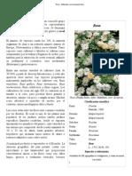Rosa - Wikipedia, La Enciclopedia Libre