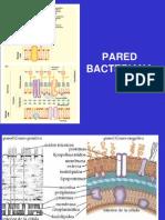 Pared Bacteriana