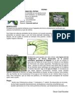 Taxonomia Del Pepino