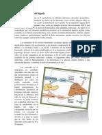 Función hormonal del hígado-- informe