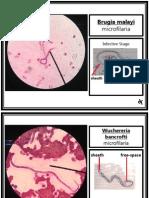 Parasitology (Laboratory) - NEMATODES - Filarial Worms