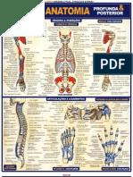 Resumão de Anatomia - Medicina 17