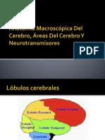Anatomia Del Cerebro y Neurotransmisores