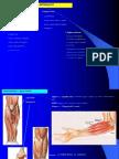 Muschii-Antebratului