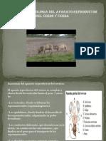 Anatomia y Fisiologia Del Aparato Cerdo