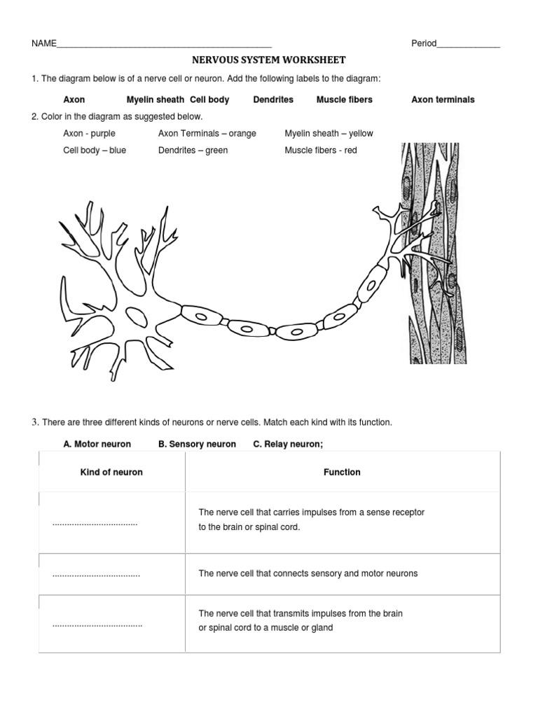 Worksheets The Nervous System Worksheet nervous system worksheet neuron nerve