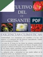 CULTIVO del crisantemo..pptx