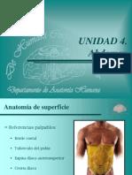 abdomen - anatomía de superficie