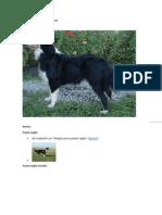 English Shepherd Information