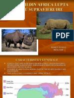 Rinocerii Pierd Lupta Pentru Supravieruire