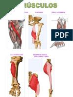 5 Musculos Principales Del Cuerpo - Dibujos 1h