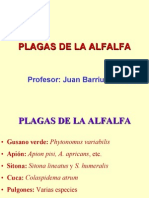 Plagas de La Alfalfa