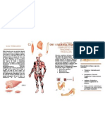 Brochure Sistema Muscular