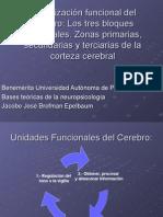 Organización funcional del cerebro