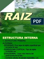 Estructura interna de la raíz